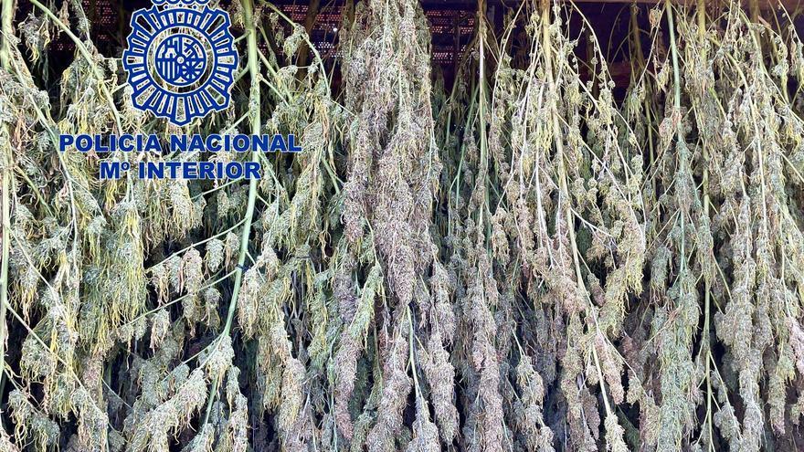 Incautan mil kilos de cogollos en Riolobos y 1.150 plantas de marihuana