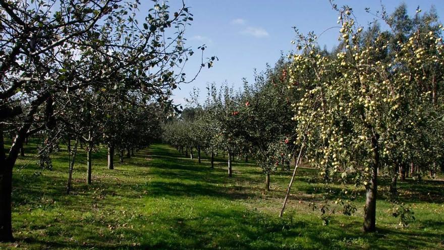 La presencia de velutina aconseja tomar precauciones al recoger la manzana