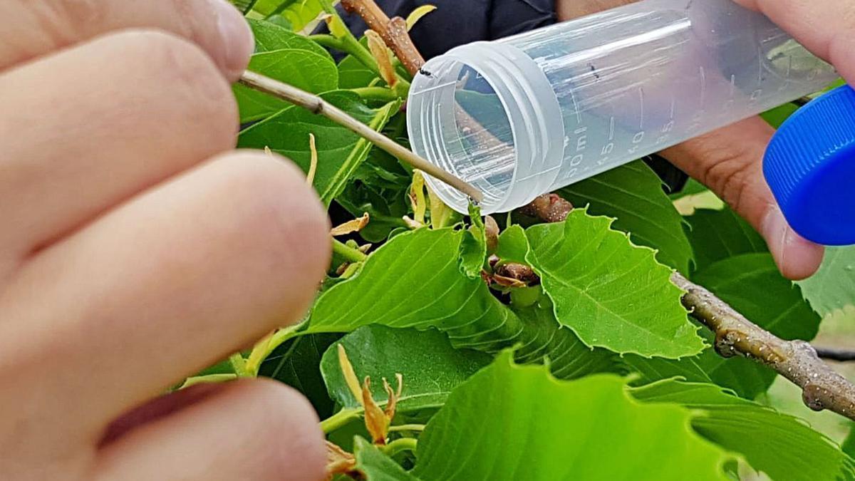 Suelta de ejemplares de Torymus sinensis en un castaño de la comarca de Aliste.   Chany Sebastián