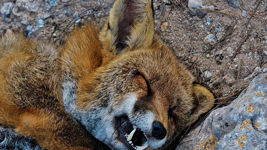 La caza de un zorro en la sierra de Santa Pola abre el debate sobre limitar los cotos