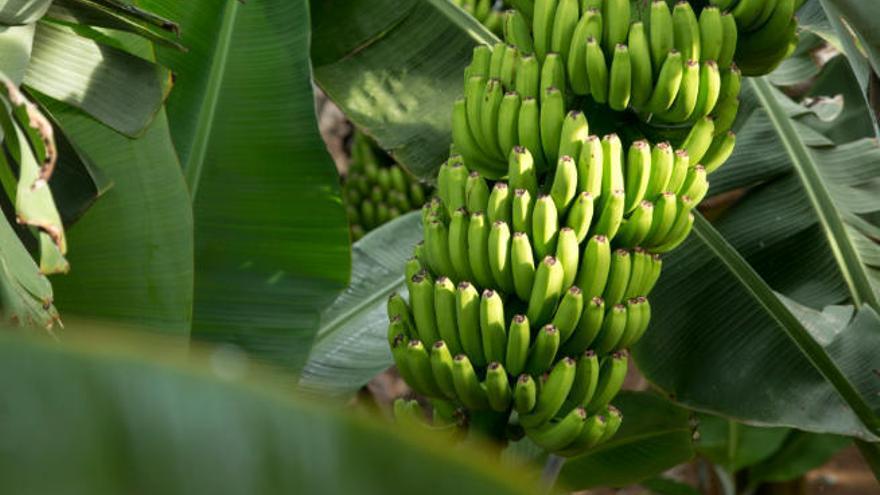 Asprocan avisa que el acuerdo con Mercosur aumenta el riesgo de saturación de banana en Europa
