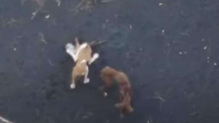 ¿'A Team' cometió un delito al rescatar a los podencos de La Palma?