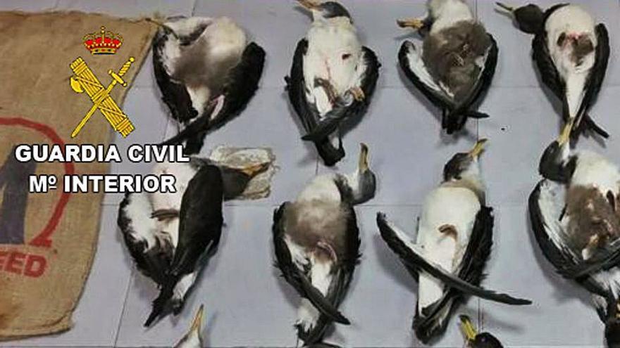 Dos detenidos por matar 16 pardelas cenicienta en Fuerteventura