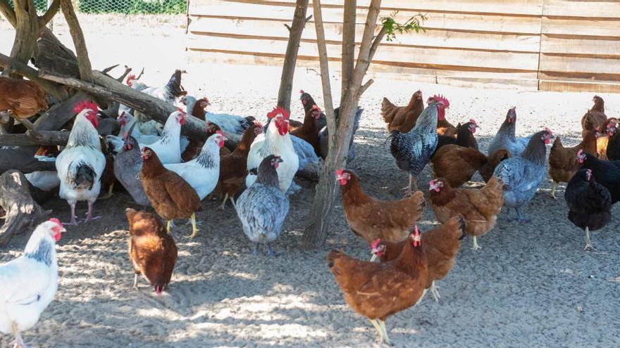 La gripe aviar se extiende en Francia y duplica sus casos cerca de la frontera española