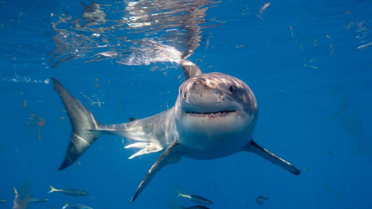 Los tiburones estuvieron a punto de desaparecer hace 19 millones de años