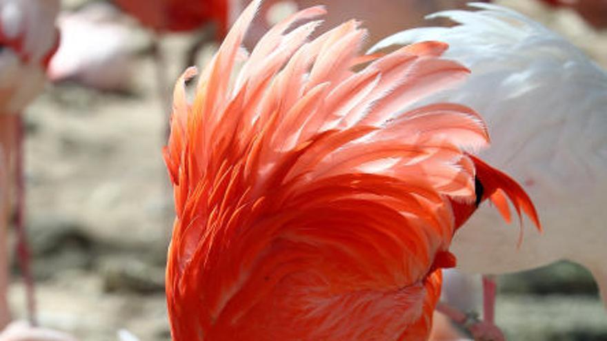 Boniques imatges dels flamencs del Zoo de Hellabrunn, a Munic