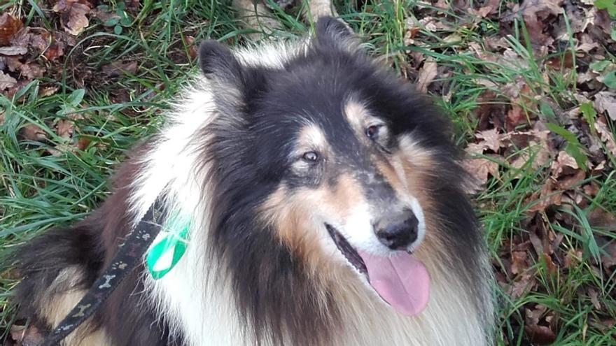 La desesperada búsqueda de un perro enfermo perdido en Siero