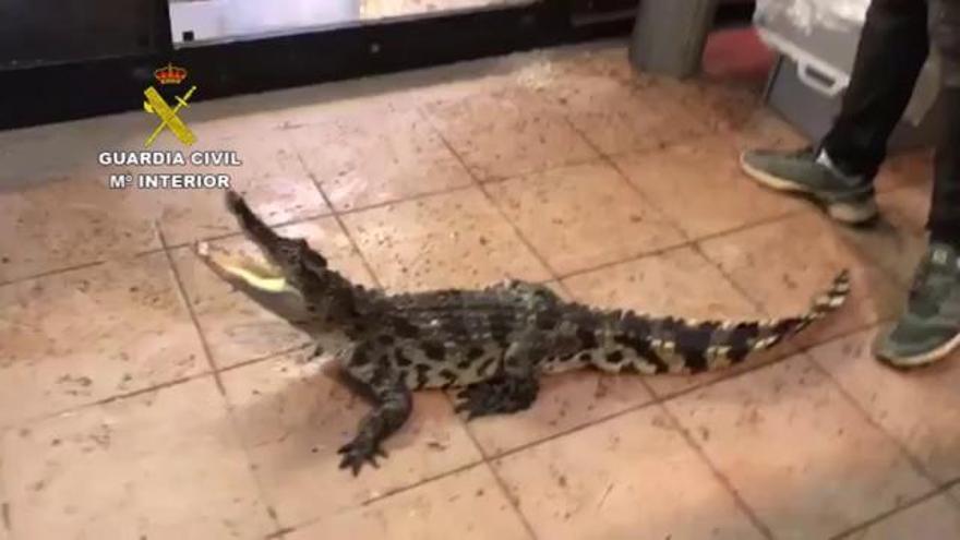Tres detinguts per tràfic de rèptils d'espècies protegides  a Sant Vicenç de Montalt