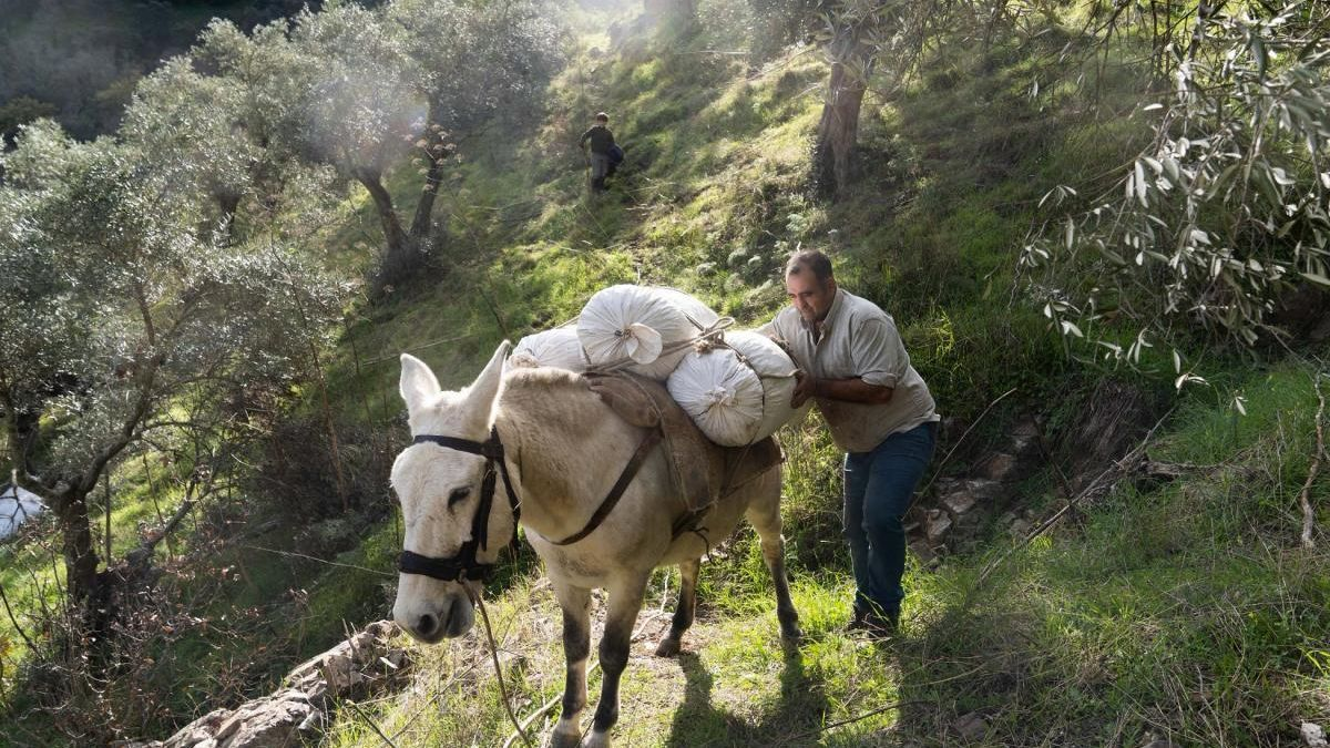 El olivar de sierra en Los Pedroches: una producción que requiere abundante mano de obra