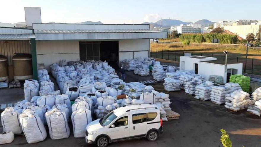 La cosecha de algarroba en Ibiza desborda los almacenes