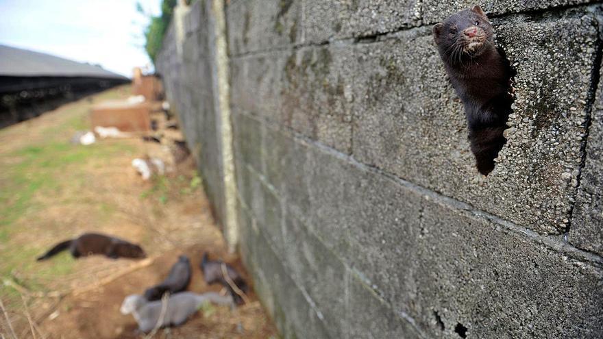Detectado un foco de coronavirus en una segunda granja de visones de Abegondo