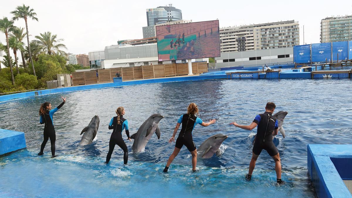 Un momento de la nueva presentación de delfines del Oceangràfic.