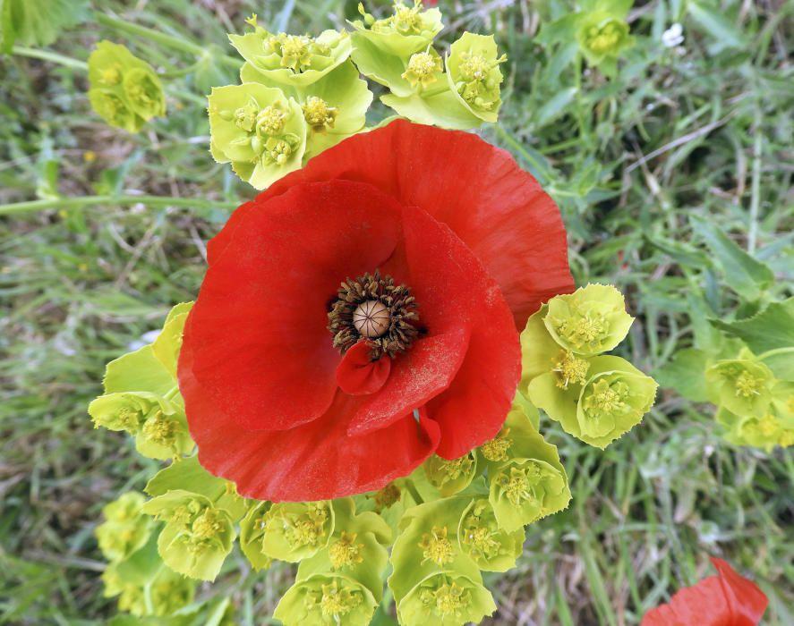 Pipiripip. Les primeres roselles (Papaver rhoeas) ja embelleixen els camps i els marges dels nostres camins amb pètals d'un vermell intens.