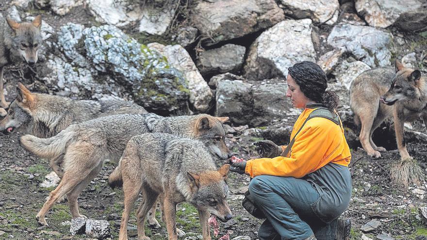 Menos de una veintena de concellos alegan contra la protección del lobo