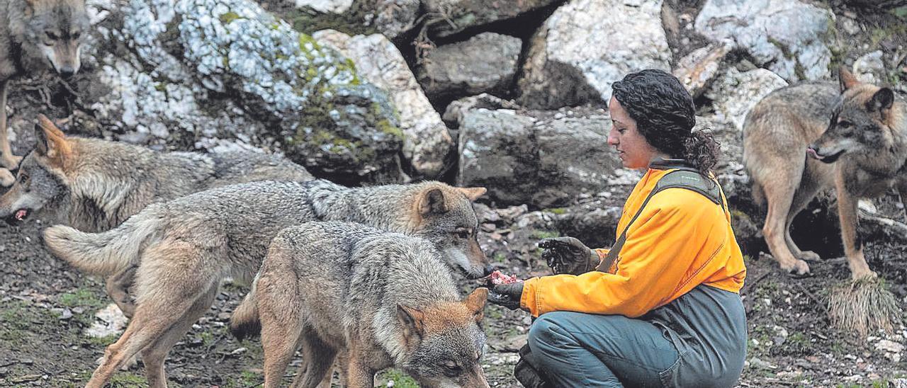 Una cuidadora alimenta a una manada en el Centro de Lobo Ibérico.