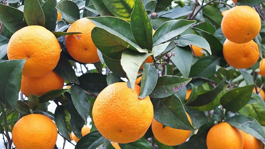 Sóller batalla para evitar que una firma patente su naranja 'canoneta'