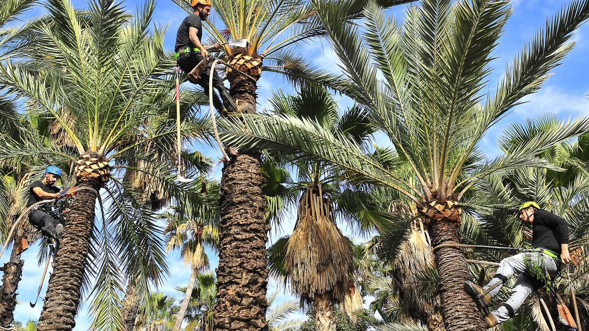 Una poda de palmeras en el Palmeral de Elche.