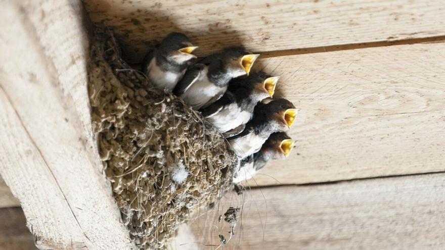 Alertan del peligro de destruir nidos en la restauración de edificios