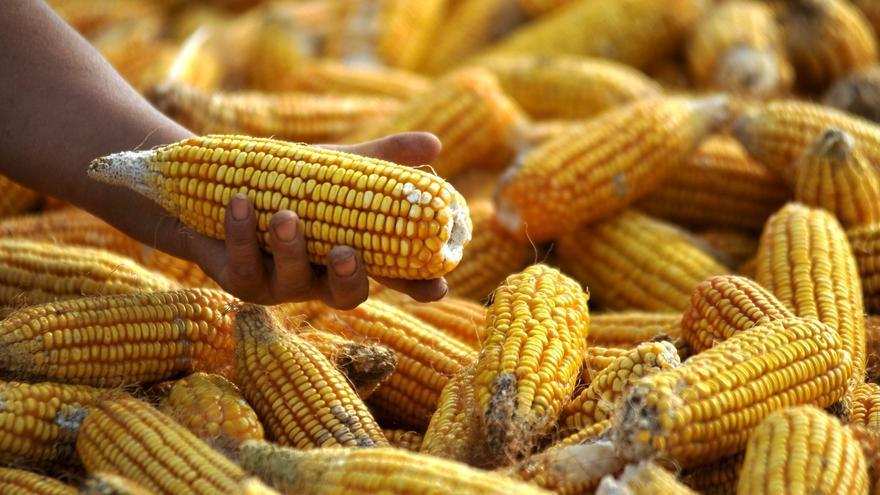 Lonja de Zamora | El precio del maíz se estabiliza en 248 euros