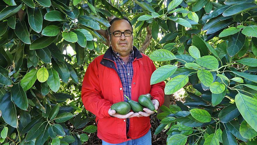 La superficie de cultivo del aguacate crece un 45 % en un año en la C. Valenciana