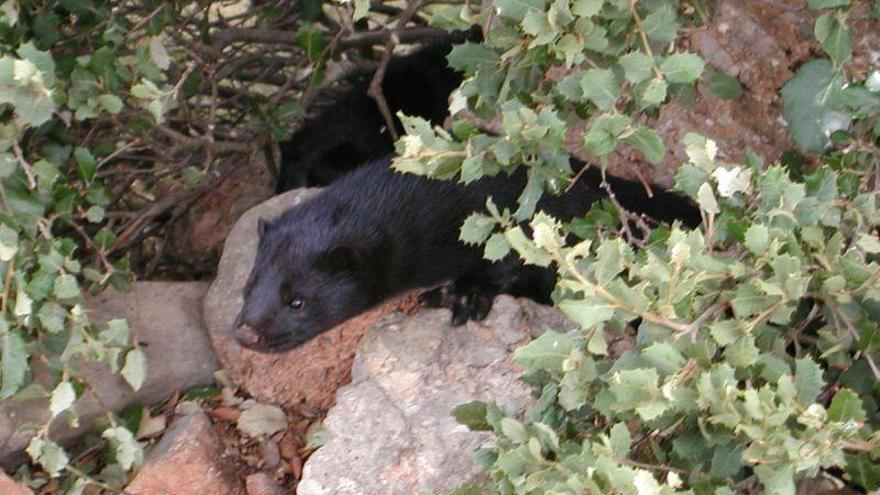 Los análisis a visones silvestres de Aragón dan resultados negativos en covid