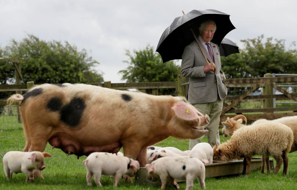 El Príncipe Carlos rodeado de cerdos.
