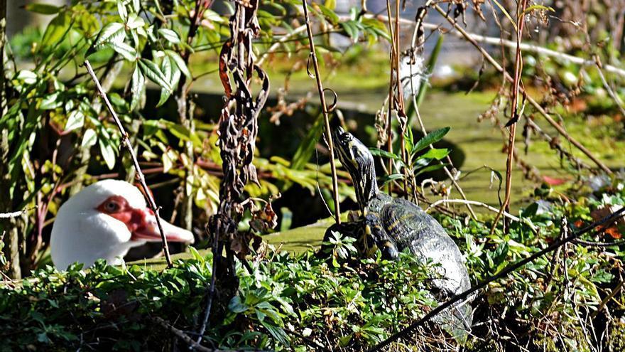 """La tortuga de Florida vuelve a """"colonizar"""" la Ría de Villaviciosa y llega hasta el parque Ballina"""