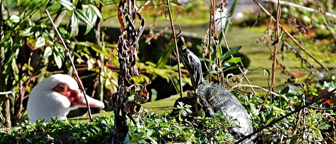 Sobre estas líneas, una tortuga, junto a un pato, en el parque.