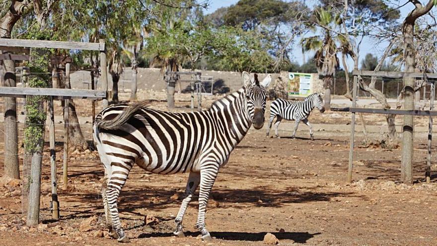 Safari-Zoo Sa Coma: reichlich Junge, aber kaum Besucher