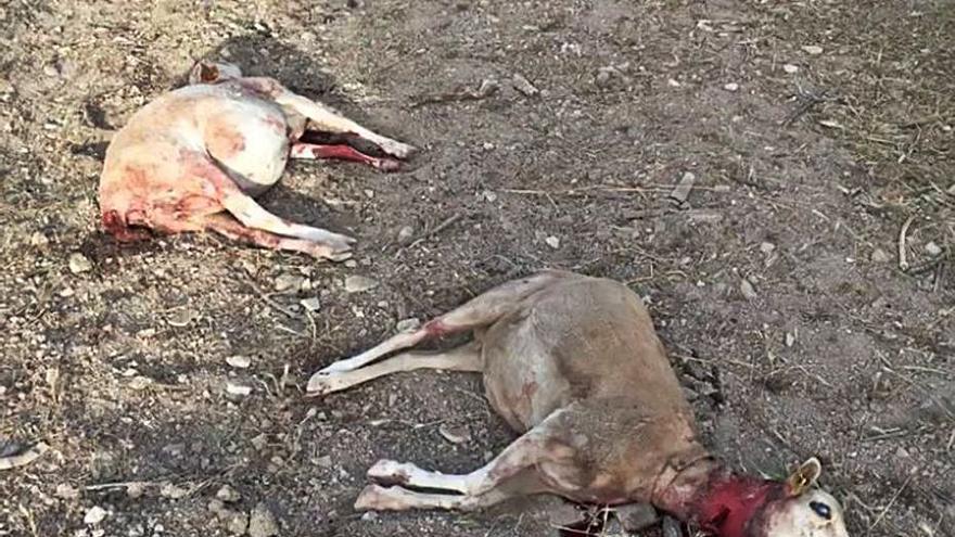 Multa de 6.600 euros a los amos de dos perras que mataron ovejas en Selva