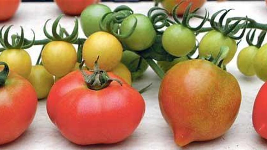 Mallorcas neue Super-Tomaten
