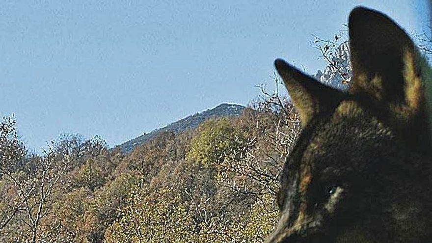 Clases de lobo en La Culebra