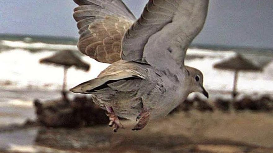 Les tórtores, símbols d'amor etern amb plomes