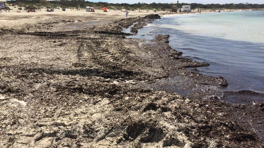 La costa de Es Trenc ha retrocedido 13,5 metros en 65 años