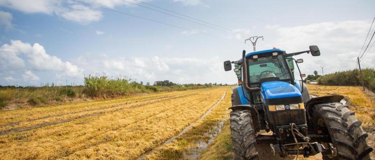 Campo de arroz ya segado, en un terreno próximo a l'Albufera de València.