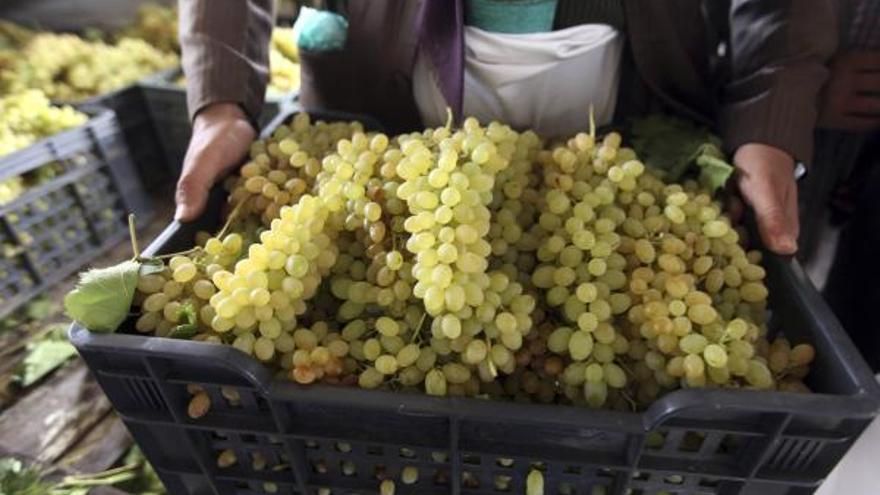 La Junta de Castilla y León destina 2,8 millones de euros a ayudas para la cosecha de uva en verde