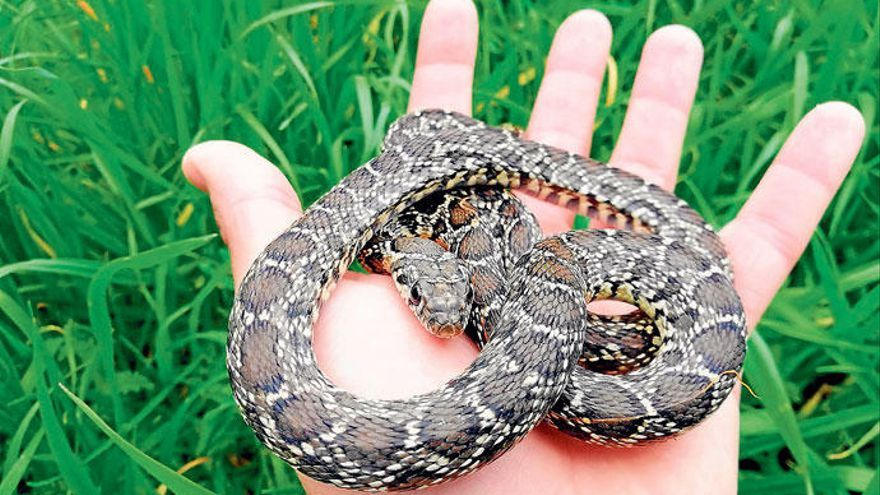 Schlangen auf den Balearen: Gekommen, um zu bleiben