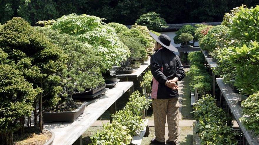 Qui està robant bonsais al Japó?