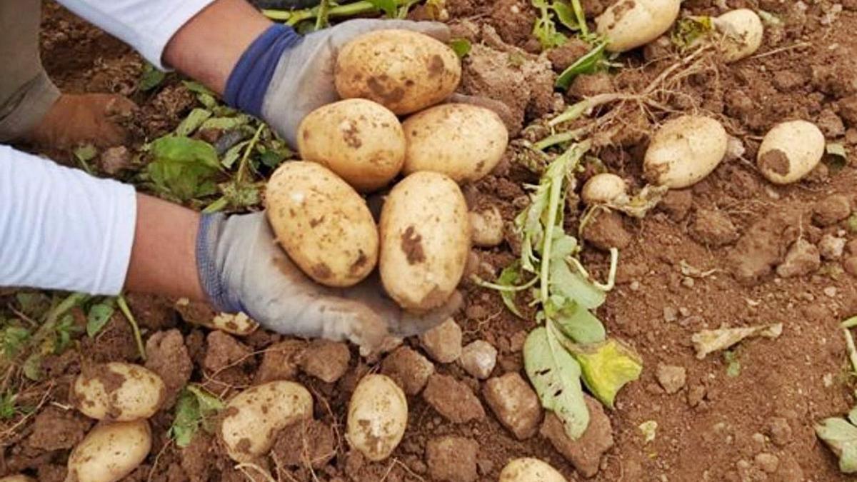 Un tercio de la cosecha regional de patata ya ha sido recogida. | L.O.