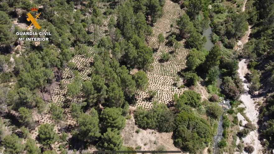 Incautada en Requena y Yátova la mayor plantación de marihuana de la historia en la provincia de Valencia
