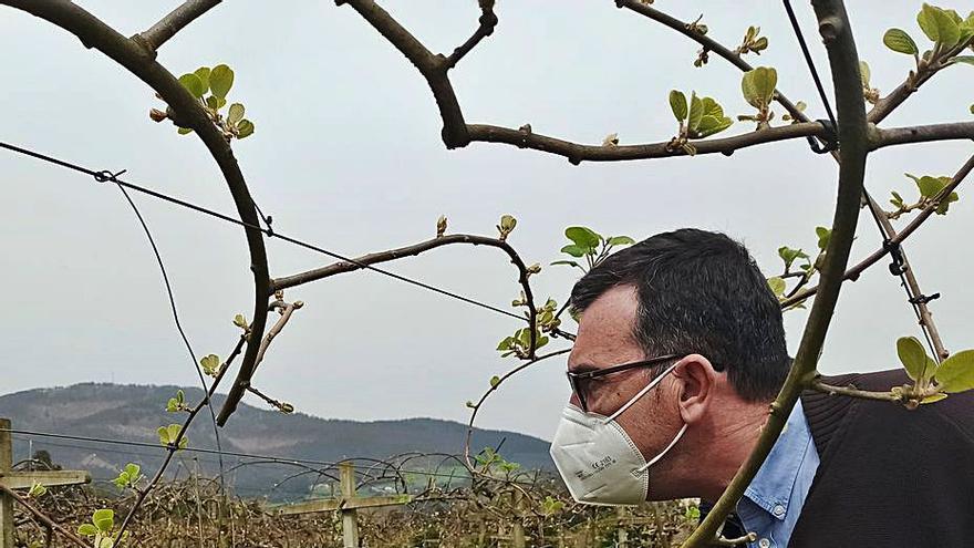 Los productores auguran una excelente cosecha de kiwis gracias al frío del invierno