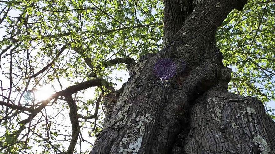 Un libro recolle máis dun cento  de árbores senlleiras de Tomiño