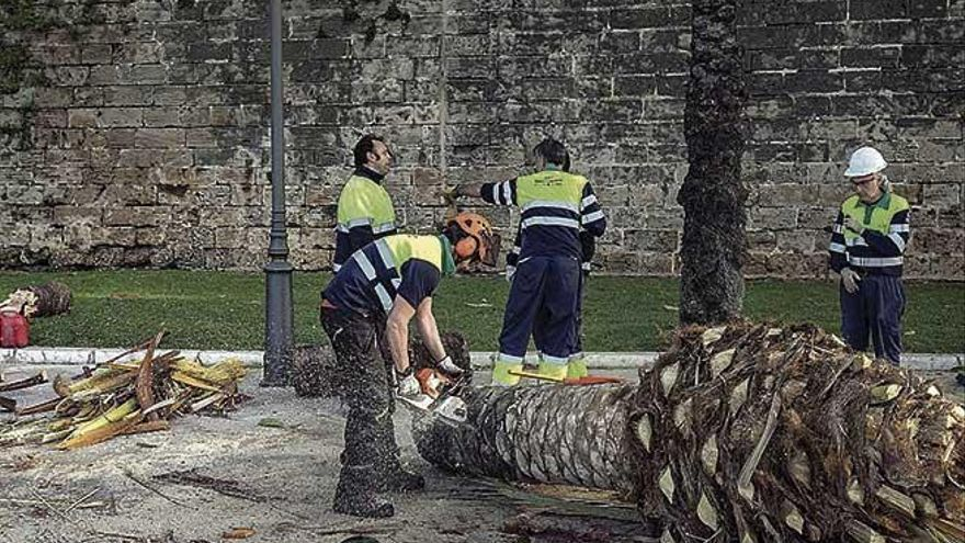 Las 14 palmeras derribadas o taladas por el temporal de viento estaban sanas