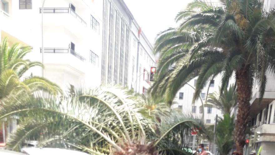 La caída de palmeras muestra la falta de cuidado del arbolado en la ciudad, según Cs