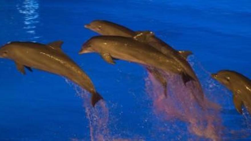 Investigadores de la Fundación Oceanogràfic revolucionan  la teoría actual sobre cómo bucean los mamíferos marinos