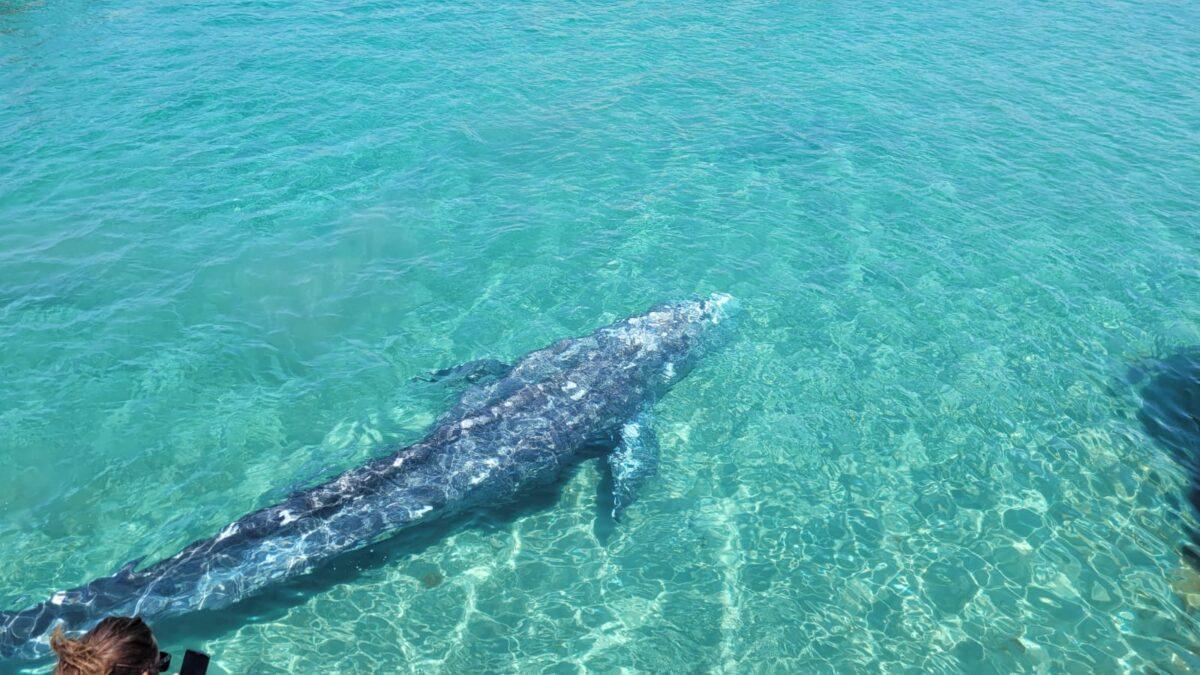 La ballena Wally, a punto de ser sacrificada en Baleares para evitar su sufrimiento