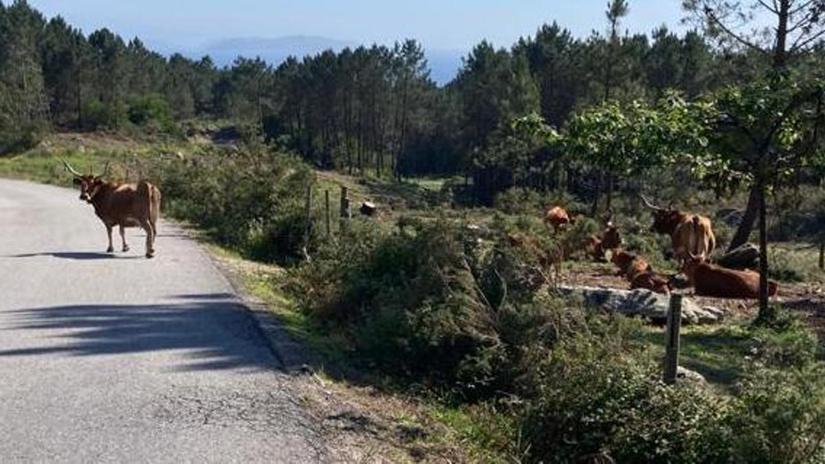 La vaca suelta en la carretera, mientras las demás la observan.