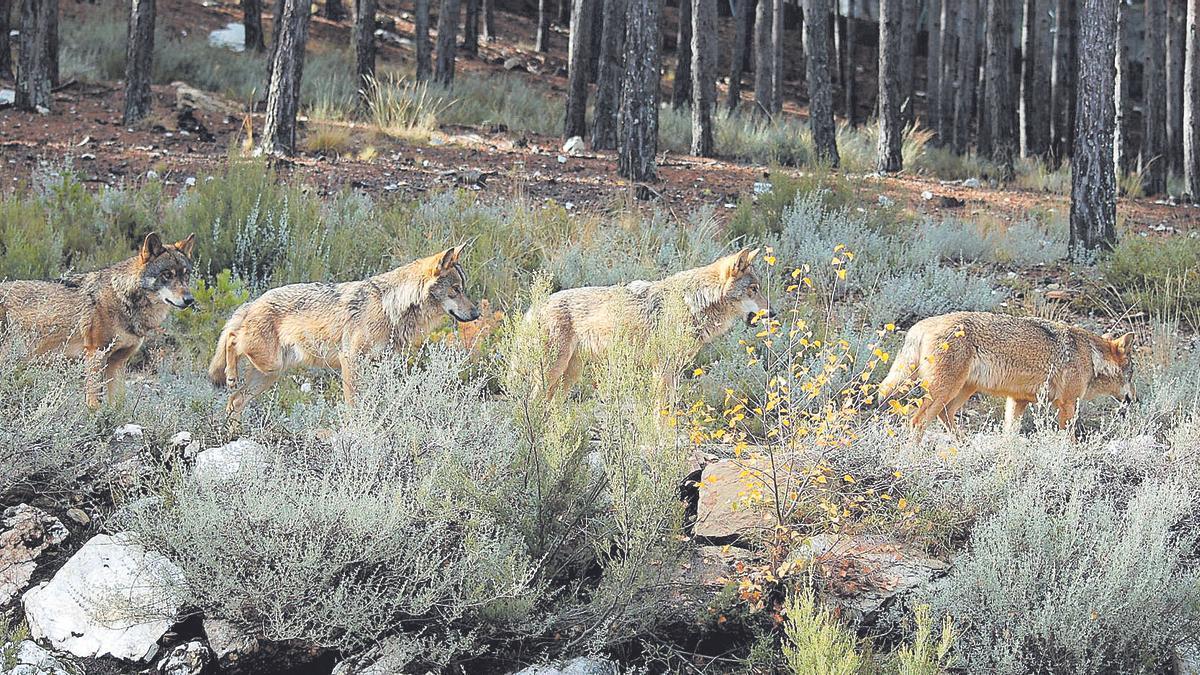 Lobos en Robledo de Sanabria
