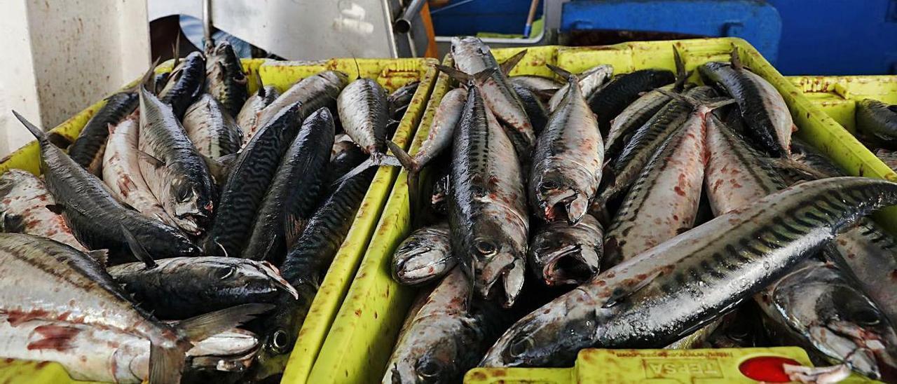Xarda recién pescada a bordo de una lancha asturiana.   Ángel González