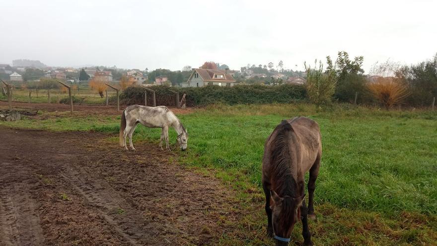 Tres caballos llevan más de una semana atados y desnutridos en una finca de Tui